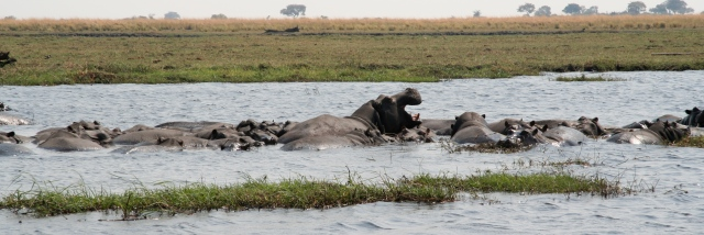 A group, a bunch, a gathering of hippopotamuses is called a bloat.