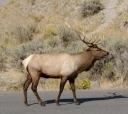 Male elk summoning his harem.