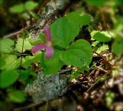 7. Mushrooms frequently hide beneath trilliums