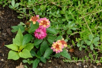 Lantana makes me think of quilts