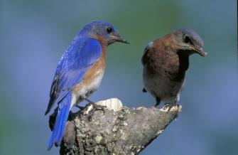 bluebird_2-6-12