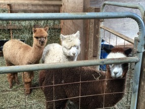 Three youngsters waiting to show us their fleece.