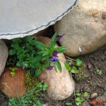 Shy wood violet.