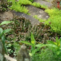 Ajuga and sedum border stone steps.