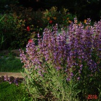 Red roses back purple sage.