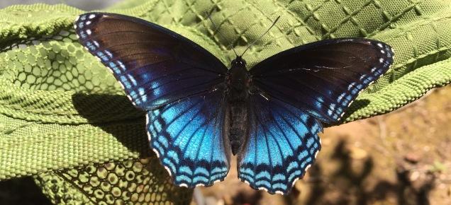 Blue Morpho shimmers