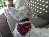 Lily shows off her Hokies bandana.