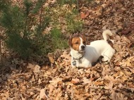 Huckleberry, belly deep in leaves