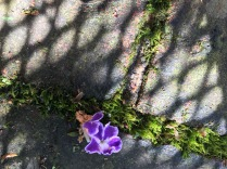 Duranta sapphire blossom.