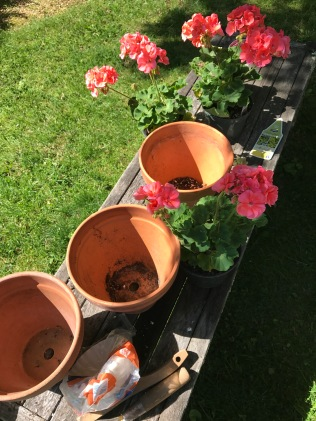 Geraniums await their pots.