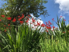 Brilliant red of Crocosmia (lucifer) blends patriotically with blue sky and white clouds.