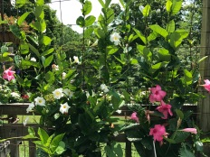 Mandevilla aka rocktrumpet brightens a corner of the wraparound deck.