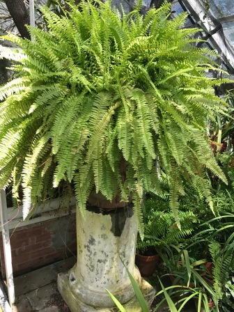 Ferns, Victorian favorites.