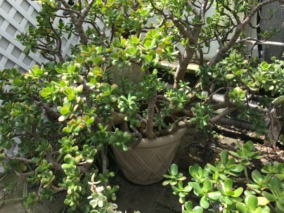 Magnificent jade plants.