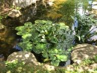 Japanese garden Koi