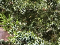 Juniper berries…gin awaits.